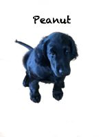 Peanut der Schulhund